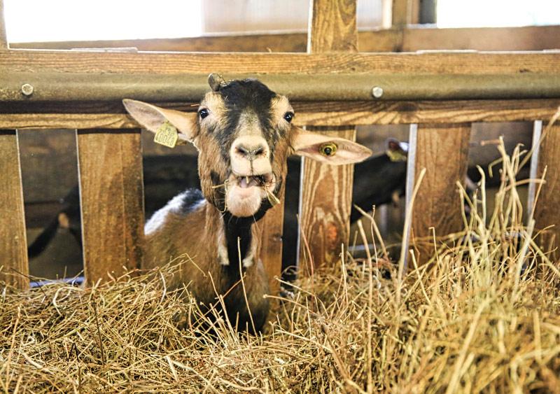 Isabelle SAINZ - Productrice de fromages de chèvres