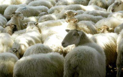 Maïder Davant – élévage ovins lait